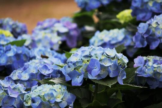 青い紫陽花2