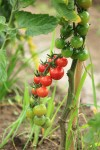 1313_tomato