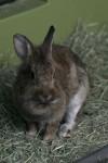 茶色いウサギ