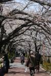 さくら (桜並木)