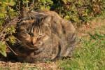 香箱座りで昼寝するサビ柄の猫