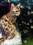 ヒョウ柄が綺麗なベンガルの仔猫