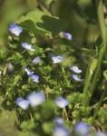 春の日差しを受けるオオイヌノフグリ