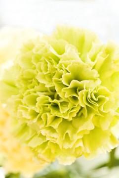 黄色いカーネーションの花