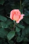 1313_rose2