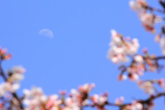 昼の月と桜
