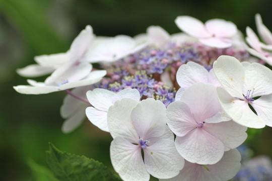 薄紫色の紫陽花のアップ