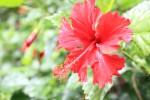 140628_hibiscus