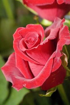 赤い薔薇の花