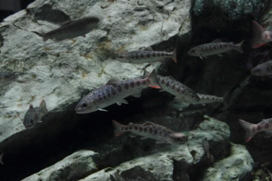 川に生息する魚