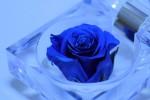 1313_rose_blue
