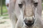 140727_kangaroo