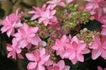 変わり咲きの紫陽花3