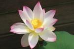開いた蓮の花