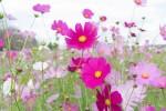 キリン花畑のコスモス