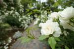 白いバラが咲く小道