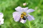 コスモスの蜜を吸う蜂