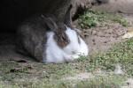寝てるウサギ4