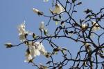 木蓮の花1
