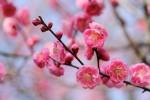 ピンクの梅の花2