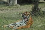 舌出しトラ