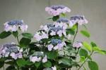薄紫の紫陽花1