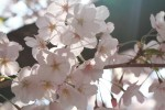 光が透けた桜