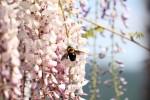 藤の花とクマバチ