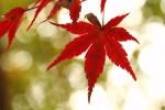 紅葉の葉っぱ