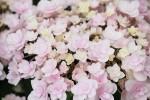 変わり咲きの紫陽花1
