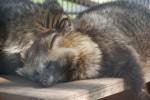 熟睡中のホンドタヌキ