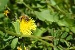春・ミツバチ