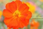 濃いオレンジ色のコスモス
