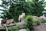 シンリンオオカミ