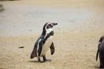 p55_penguin2