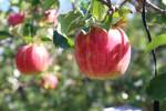 木になったリンゴ