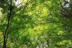 陽光漏れる新緑