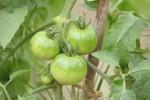tomato160605