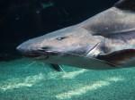 熱帯地方の大きな淡水魚
