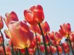 日光に透けた花びら2