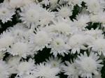 小さな白い菊 2