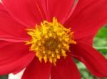 red_flower-1