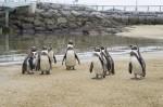 砂浜のペンギンたち
