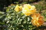 黄色のバラ3