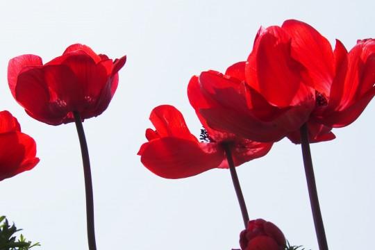 アネモネの花2