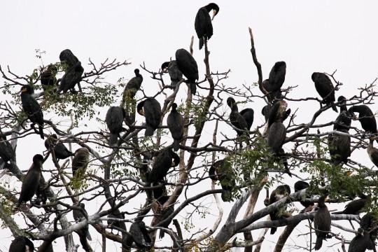 鳥のたくさん止まった木