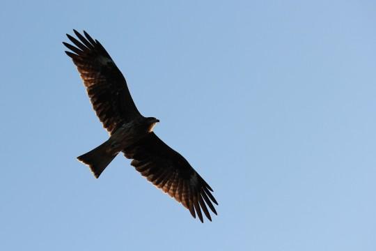 飛ぶ猛禽2