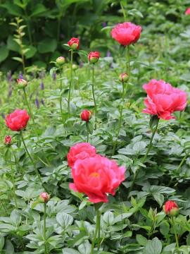 芍薬の花 1