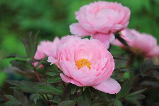 芍薬の花 2
