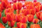 チューリップの花畑2
